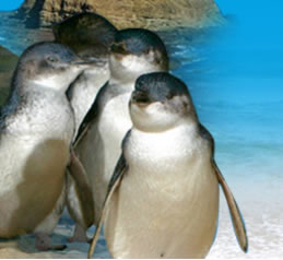 Phillip Island Penguin Parade - VIC Tourism