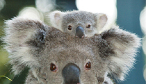 Billabong Koala and Wildlife Park - VIC Tourism