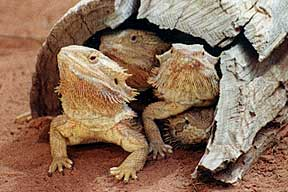 Alice Springs Reptile Centre - VIC Tourism