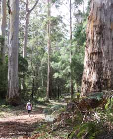 Warren River Loop Walk - VIC Tourism