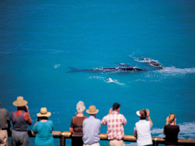 Whale Watching At Head Of Bight