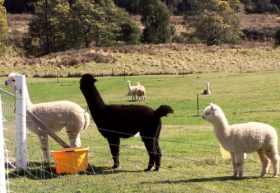 Maydena Country Cabins Accommodation  Alpaca Stud - VIC Tourism
