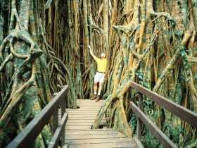 Curtain Fig Tree - VIC Tourism