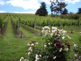 Pembroke Estate Vineyard - VIC Tourism