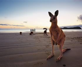 Wallabies on the Beach at Cape Hillsborough - VIC Tourism