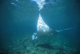 Manta Ray Bay Dive Site - VIC Tourism