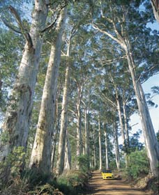 The Great Forest Trees Drive - VIC Tourism