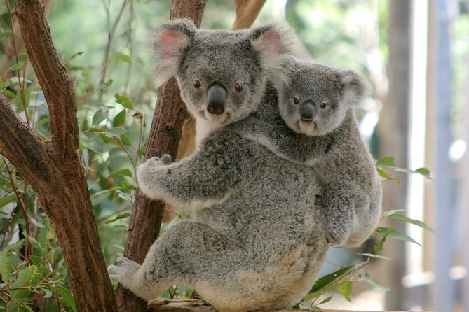 Lone Pine Koala Sanctuary Day Pass - VIC Tourism