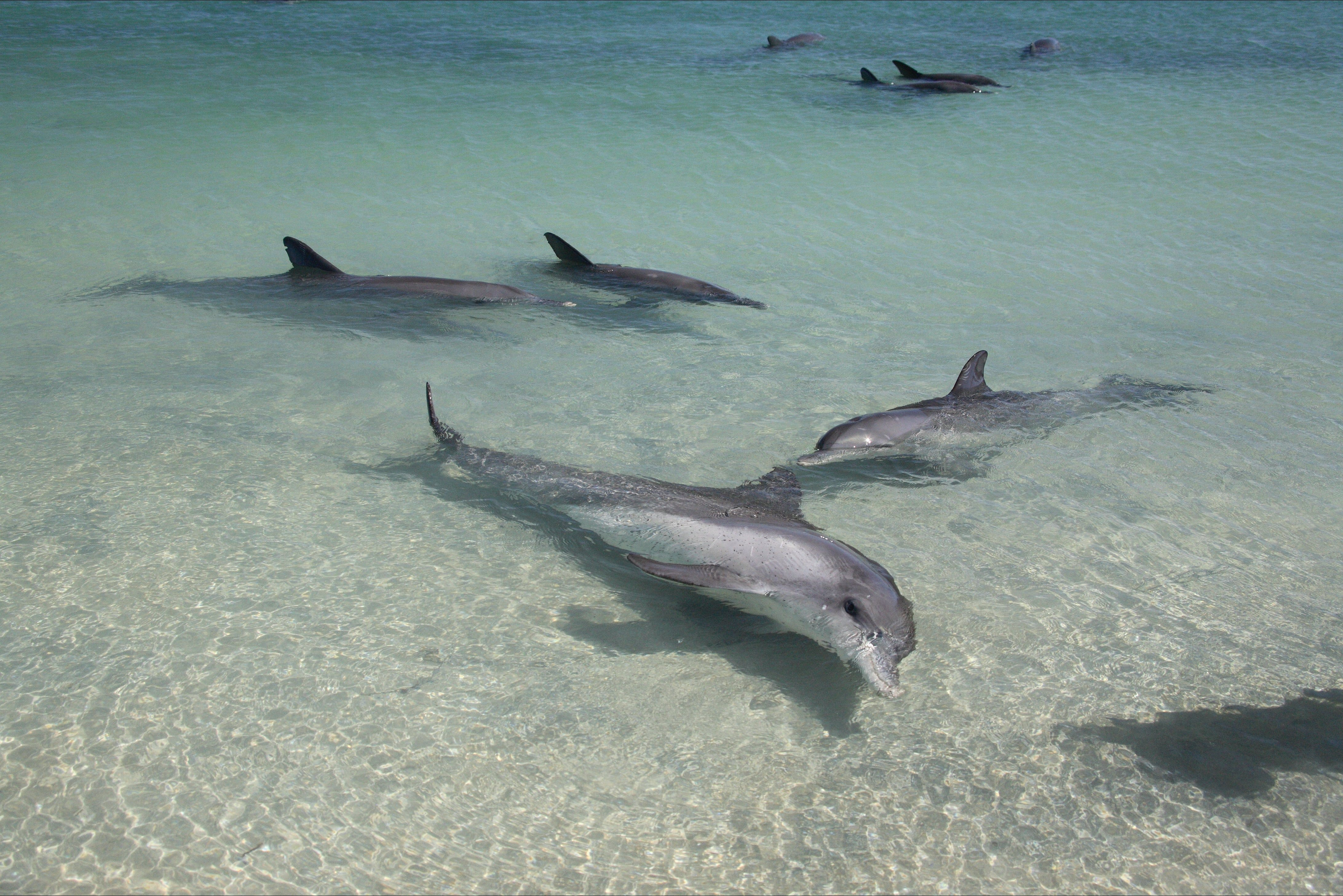 Dolphins of Monkey Mia - VIC Tourism