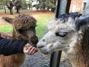 Alpaca Farm Experience at Crookwell - VIC Tourism