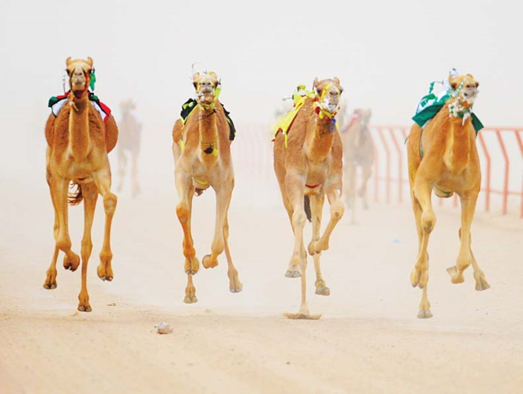 The Quirindi Camel Cup - VIC Tourism