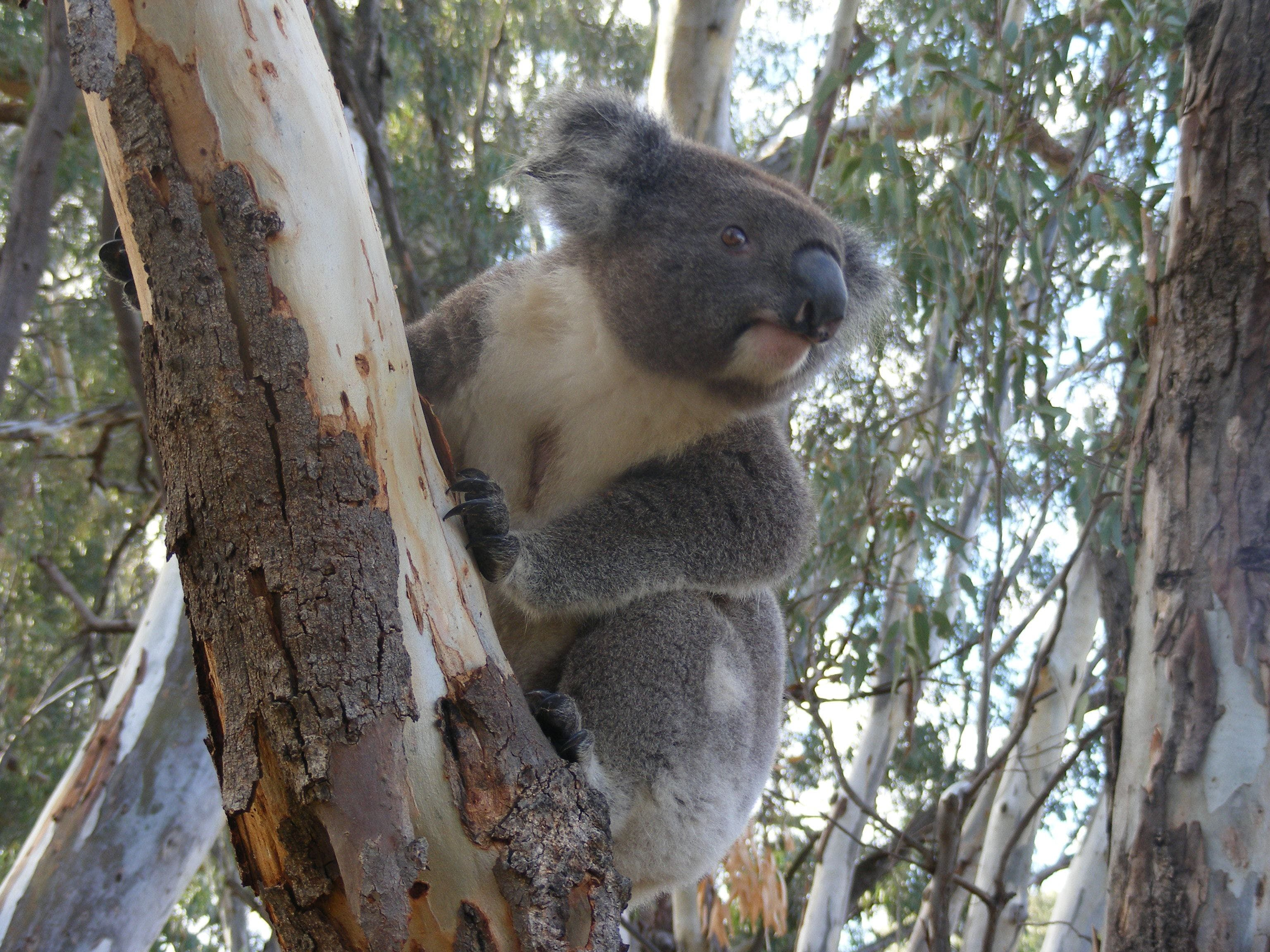 Annual Koala Count - VIC Tourism