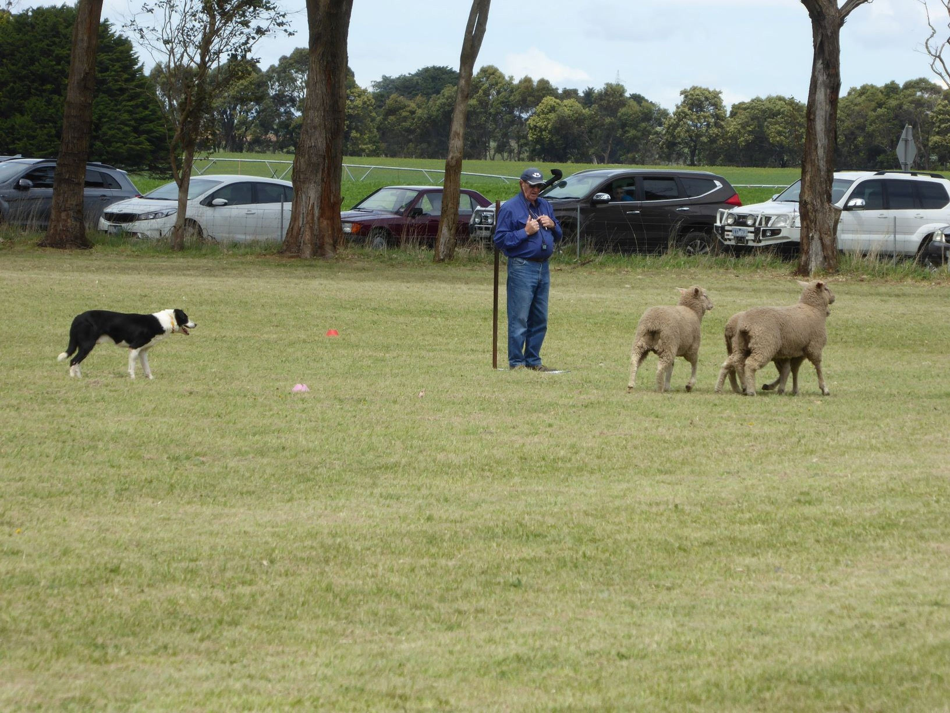 Dean Sheepdog Trials - Old Sniff Classic - VIC Tourism