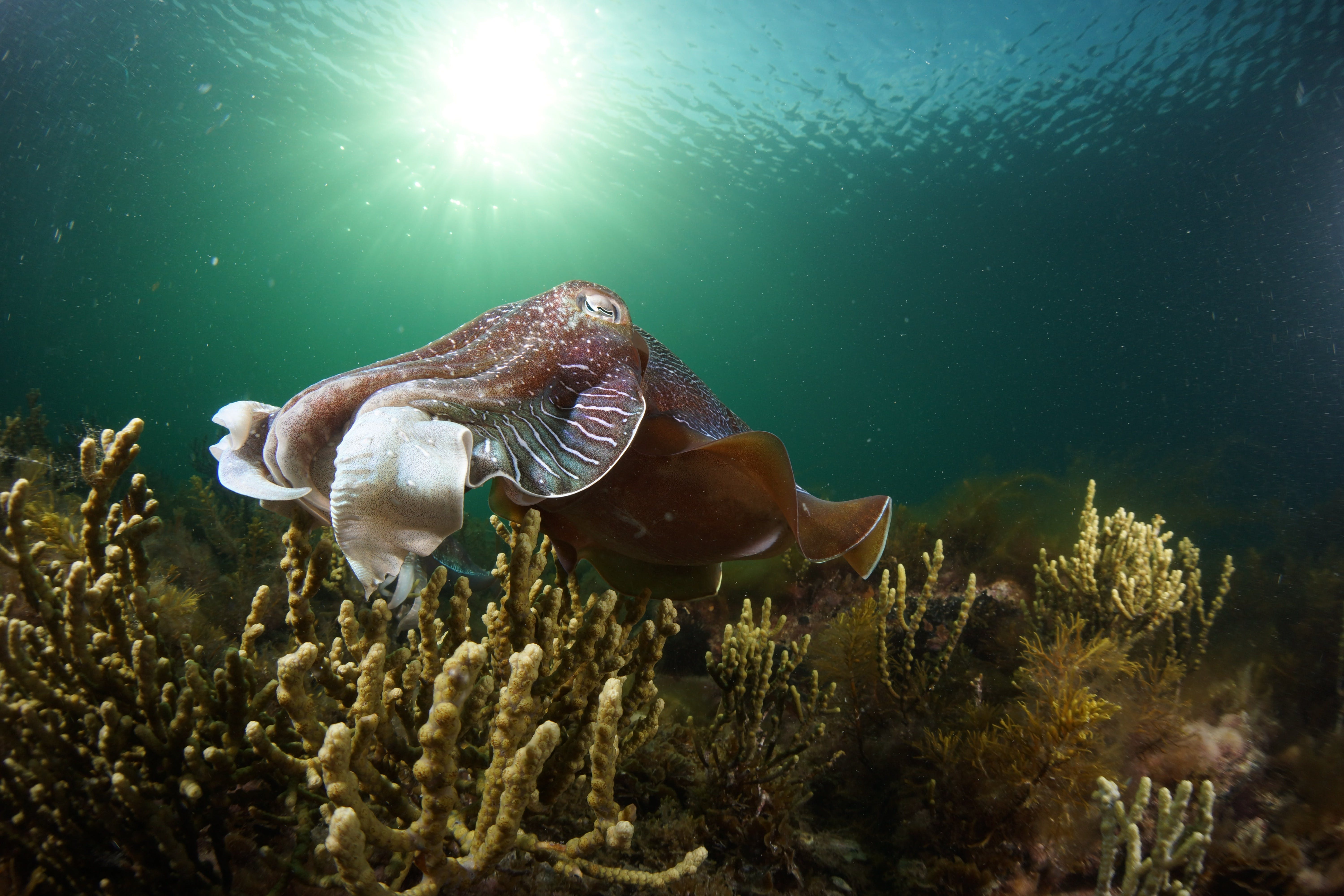 Cuttlefish Diving  Snorkeling EVERYDAY May -August - VIC Tourism
